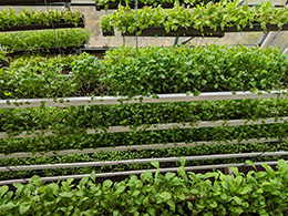 Edelbrock Greens – CSB/SJU